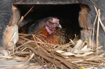 Ayam2.jpg