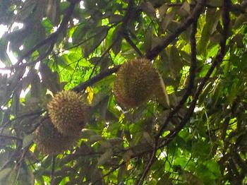 durian1_1.jpg