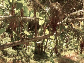 kelapa2.jpg