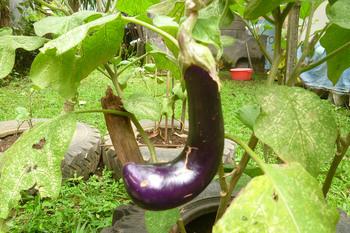 eggplant3.jpg