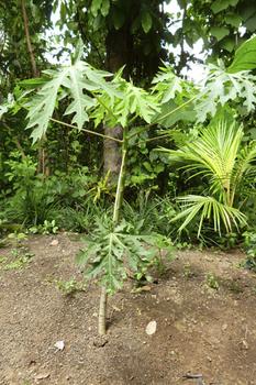 papaya1.jpg
